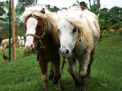 Mini Horses Paradise Philippines