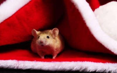 A Mouse Hiding Inside A Santa Hat
