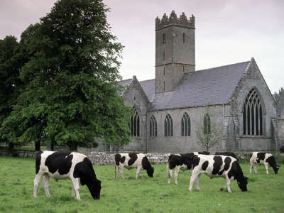 Cows in Adare Ireland