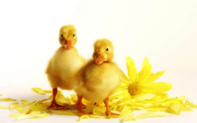 Two Yellow Ducklings And Chrysanthemum
