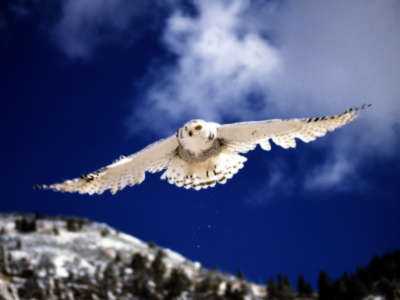 Snowy Owl In Flight Pictures