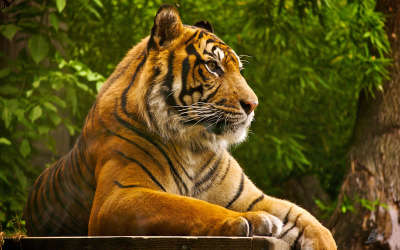 Animal Tiger