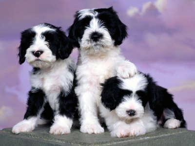 Ashlyn Tibetan Terriers