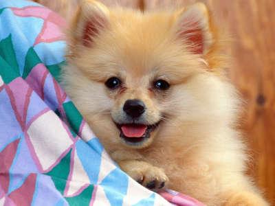 Cuddly Soft, Pomeranian