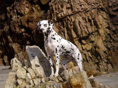 Dalmatian On Rocky Beach