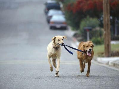 Dog Walking, Golden And Yellow Labrador Retriever Mix