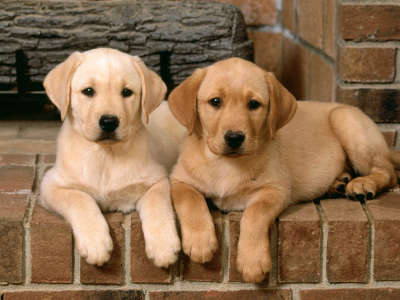 Double Trouble, Labrador Retrievers