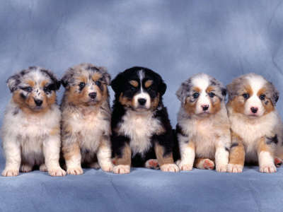 Fluffy Five, Shepherd Puppies