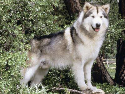 Hugabear, Champion Alaskan Malamute