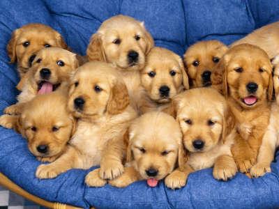 Siblings, Golden Retriever Puppies