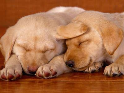 Sleeping On The Job, Lab Puppies