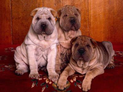 Three S Company, Shar Pei Puppies