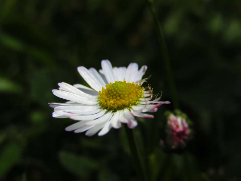 Beautiful Daisy flower on meadow