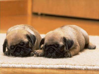 Babie Dogs